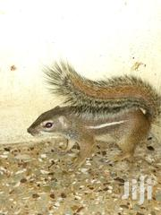 African Giant Land Squirrel | Other Animals for sale in Ashanti, Mampong Municipal