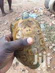 African Hinge Back Tortoise | Reptiles for sale in Ga South Municipal, Greater Accra, Ghana