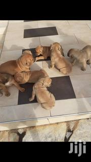 Baby Male Mixed Breed Boerboel | Dogs & Puppies for sale in Greater Accra, Achimota