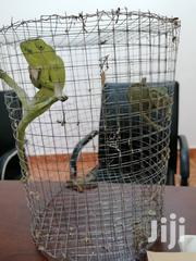 Chameleon For Sale | Reptiles for sale in Greater Accra, Achimota