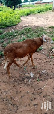 Big Sheep For Sale | Other Animals for sale in Northern Region, Gushegu