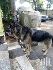 Adult Male Purebred German Shepherd Dog | Dogs & Puppies for sale in Greater Accra, Dansoman