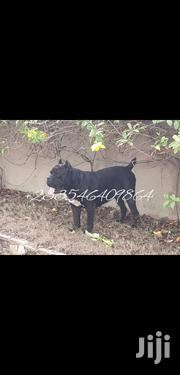 Baby Male Purebred Cane Corso | Dogs & Puppies for sale in Greater Accra, Tesano