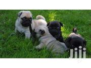 Pedigree Pug Puppies For Sale, Pug Lovers Should Crab Theirs ASAP. | Dogs & Puppies for sale in Greater Accra, East Legon