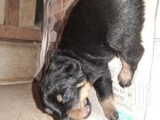 Baby Male Purebred Rottweiler   Dogs & Puppies for sale in Greater Accra, Achimota