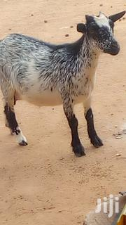 Goad For Sale | Other Animals for sale in Northern Region, Gushegu