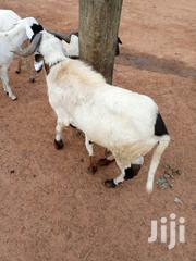 Sheep For Sale | Other Animals for sale in Northern Region, Kpandai