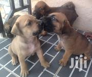Boerboel Pups | Dogs & Puppies for sale in Western Region, Ahanta West