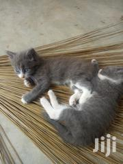 Baby Male Mixed Breed Russian Blue | Cats & Kittens for sale in Greater Accra, Ga West Municipal