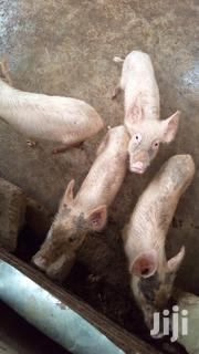 Pigs For Sale | Livestock & Poultry for sale in Eastern Region, Suhum/Kraboa/Coaltar