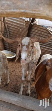 Big Sheep For Sale | Livestock & Poultry for sale in Northern Region, Gushegu