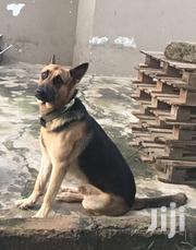 Adult Male Purebred German Shepherd Dog   Dogs & Puppies for sale in Greater Accra, Achimota