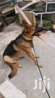 Solid Male German Sheperd For Crossing Or Stud Or Matting.   Pet Services for sale in Kwashieman, Greater Accra, Ghana