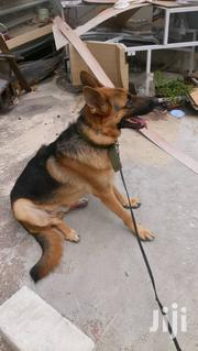 Solid Male German Sheperd For Crossing Or Stud Or Matting. | Pet Services for sale in Greater Accra, Kwashieman