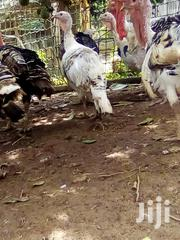 Male N Female Turkeys For Sale | Birds for sale in Greater Accra, Accra Metropolitan