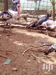 Male N Female Turkeys For Sale | Birds for sale in Ashanti, Obuasi Municipal