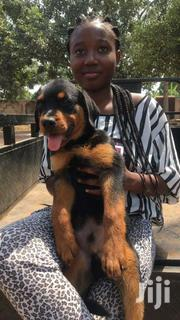 Rottweiler Puppy | Dogs & Puppies for sale in Greater Accra, Adenta Municipal