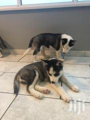 Young Male Purebred Siberian Husky | Dogs & Puppies for sale in Western Region, Wasa Amenfi West