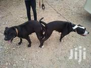 Baby Female Purebred American Pit Bull Terrier | Dogs & Puppies for sale in Greater Accra, Dansoman