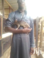 African Giant Rat | Other Animals for sale in Ashanti, Kumasi Metropolitan