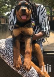 Very Solid 3 Months Old Rottweiler On The Move | Dogs & Puppies for sale in Greater Accra, Adenta Municipal