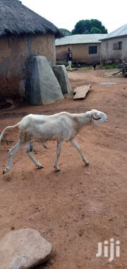 Sheep For Selling   Livestock & Poultry for sale in Northern Region, Gushegu