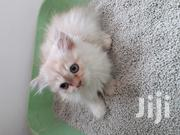 Baby Male Purebred Persian | Cats & Kittens for sale in Greater Accra, Accra Metropolitan