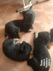 Baby Male Purebred German Shepherd Dog | Dogs & Puppies for sale in Greater Accra, Tema Metropolitan