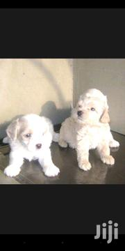 Young Female Purebred Poodle | Dogs & Puppies for sale in Greater Accra, Adenta Municipal