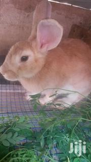 Rabbit's for Sale | Other Animals for sale in Greater Accra, Kwashieman