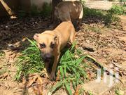 Adult Female Purebred Boerboel | Dogs & Puppies for sale in Greater Accra, Kwashieman