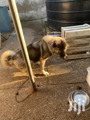 Adult Female Purebred Caucasian Shepherd Dog | Dogs & Puppies for sale in Greater Accra, North Ridge