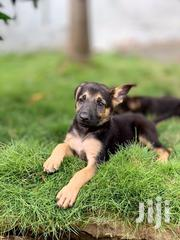 Baby Male Purebred German Shepherd Dog | Dogs & Puppies for sale in Greater Accra, Teshie-Nungua Estates