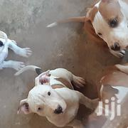 Young Female Purebred American Pit Bull Terrier | Dogs & Puppies for sale in Greater Accra, East Legon