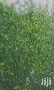 Creeping Fig | Garden for sale in Greater Accra, Ga South Municipal