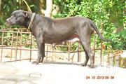 Adult Female Purebred American Pit Bull Terrier | Dogs & Puppies for sale in Greater Accra, Accra Metropolitan