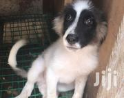 Young Male Purebred Caucasian Shepherd Dog | Dogs & Puppies for sale in Greater Accra, Achimota