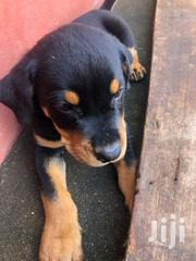Baby Male Mixed Breed Doberman Pinscher | Dogs & Puppies for sale in Greater Accra, Osu