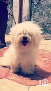 Adult Male Purebred Maltese   Dogs & Puppies for sale in Greater Accra, Achimota