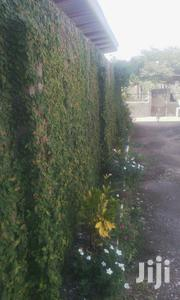 Creeping Fig | Landscaping & Gardening Services for sale in Greater Accra, Ga South Municipal