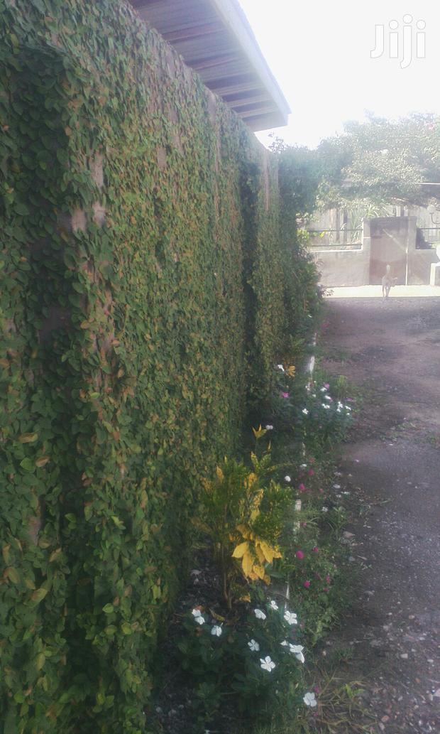 Archive: Creeping Fig