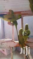 Parrot For Sell | Birds for sale in West Mamprusi, Northern Region, Ghana