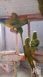 Parrot For Sell | Birds for sale in Northern Region, West Mamprusi