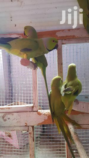 Parrot For Sell