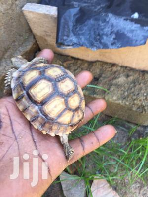 Pure African Spurred Tortoise ( Sulcata)