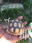 Pure African Spurred Tortoise ( Sulcata) | Reptiles for sale in Ga South Municipal, Greater Accra, Ghana