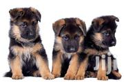 Pedigree German Shepherd | Dogs & Puppies for sale in Greater Accra, East Legon