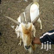 Goat | Livestock & Poultry for sale in Northern Region, Gushegu