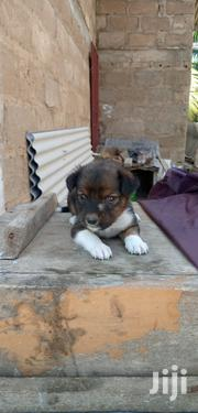 Baby Female Mixed Breed Mongrel No Breed | Dogs & Puppies for sale in Greater Accra, Teshie-Nungua Estates