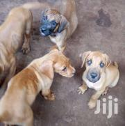 Mixed Breed Boerboel For Sale | Dogs & Puppies for sale in Greater Accra, North Kaneshie